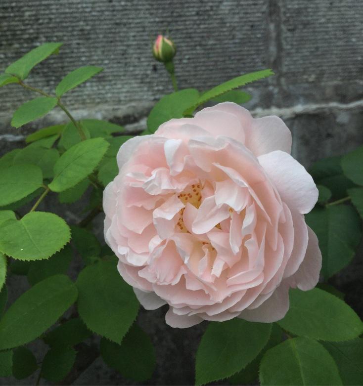 枝変わり薔薇:トロルの日々:So...